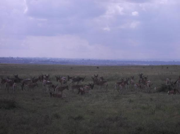 Nairobi National Park Deer