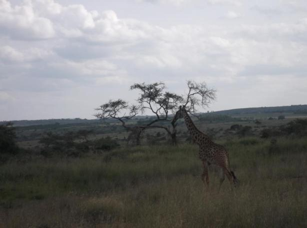 Nairobi National Park Giraffe