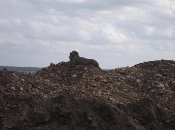 Nairobi National Park Lion Close UP