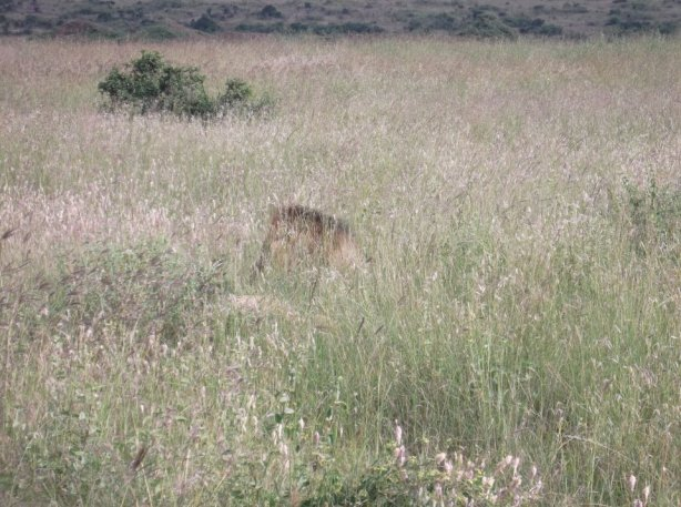 Nairobi National Park Lion